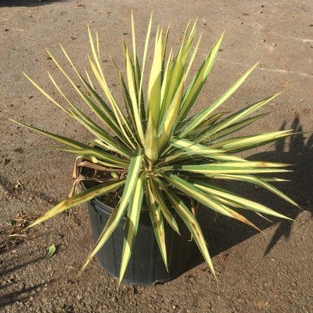 Yucca Color Guard Ruibals