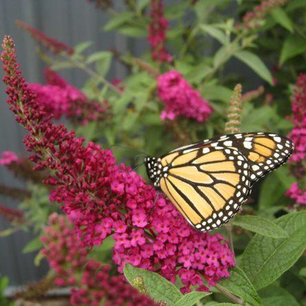 buddleia � butterfly bush � ruibals